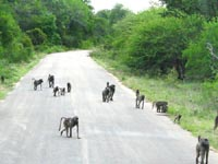 babuinos.jpg